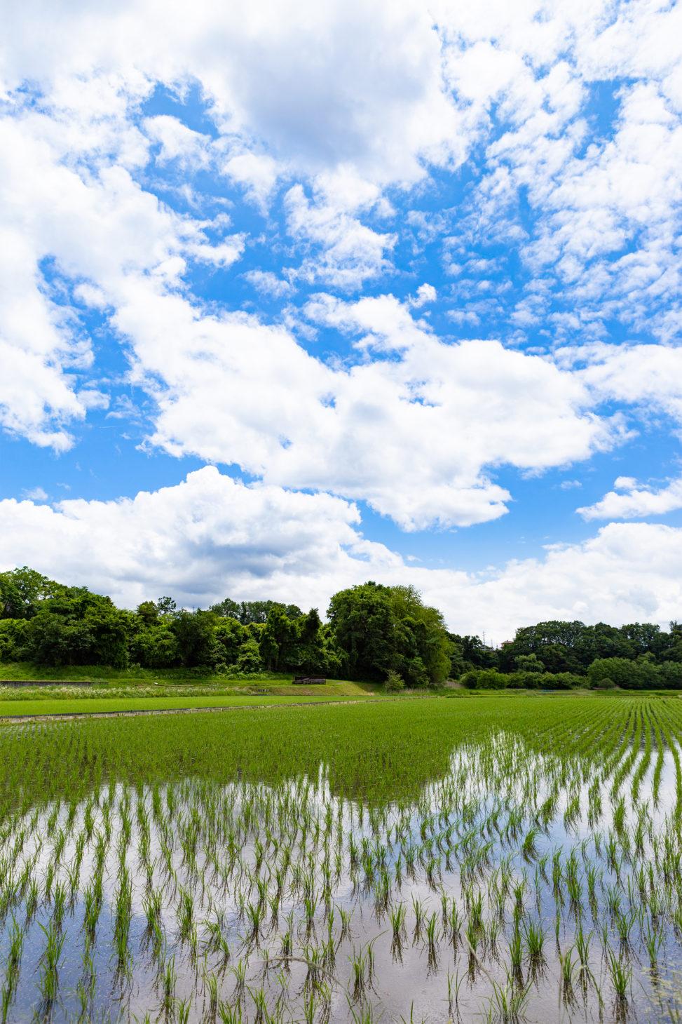 初夏の田んぼと青空の写真素材