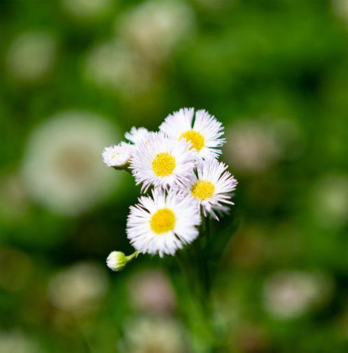 ハルジオンの花03の写真素材