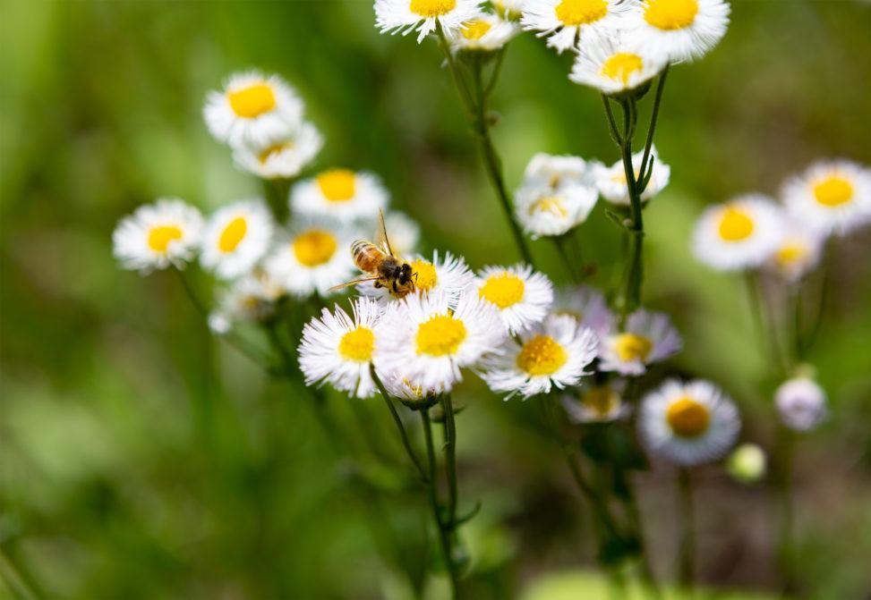 ハルジオンの花と蜂02の写真素材