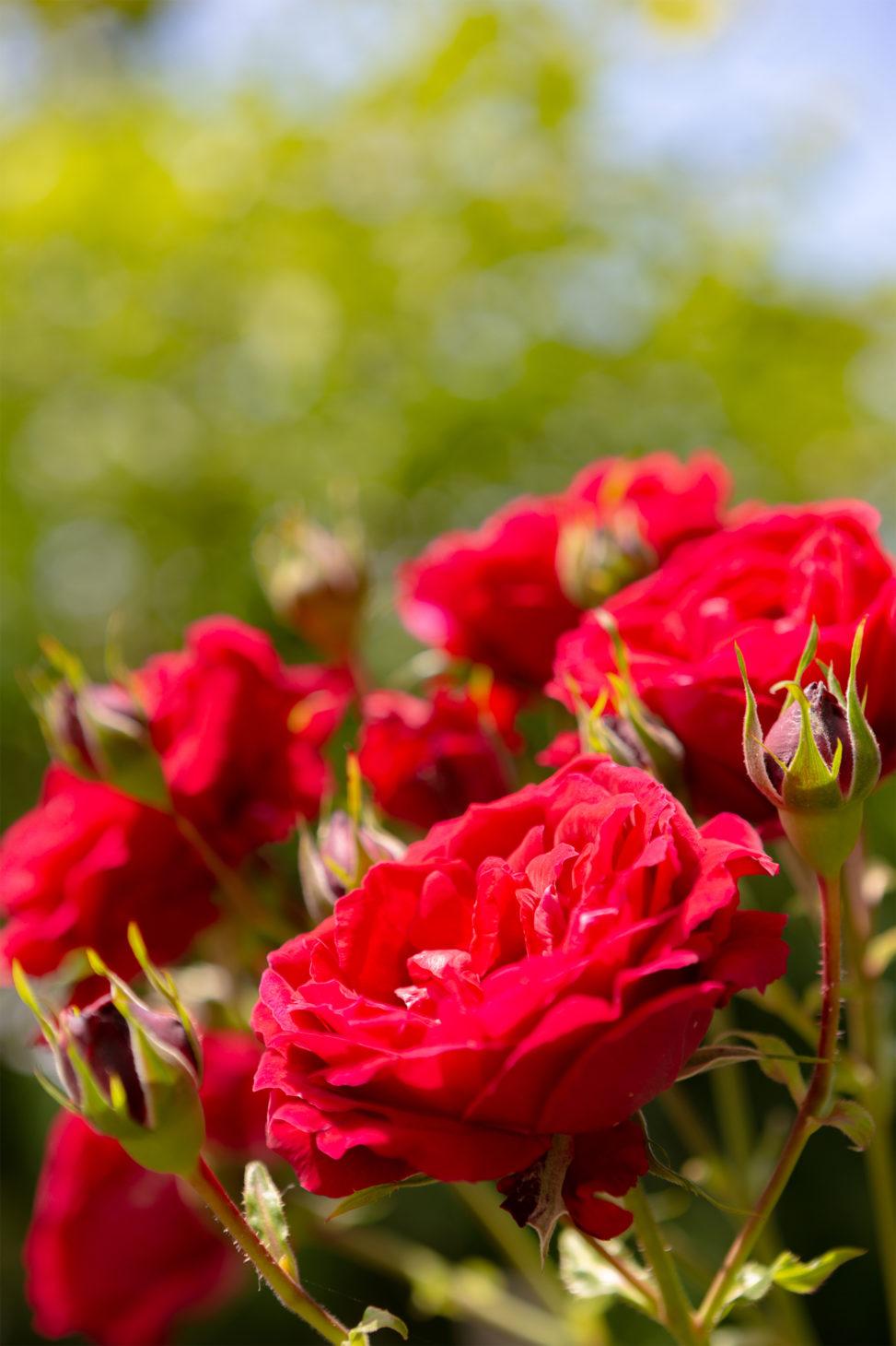 真っ赤なバラ(薔薇)の写真素材