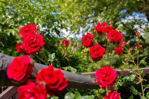 バラ(薔薇)と新緑の写真素材