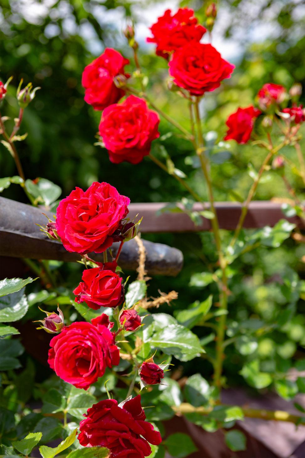 真っ赤なバラ(薔薇) 02の写真素材