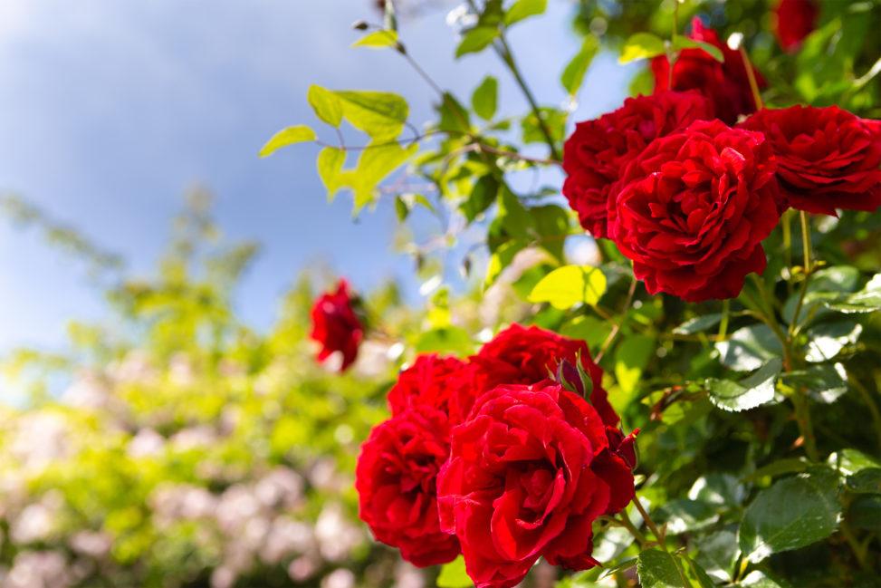 バラ(薔薇)と空の写真素材
