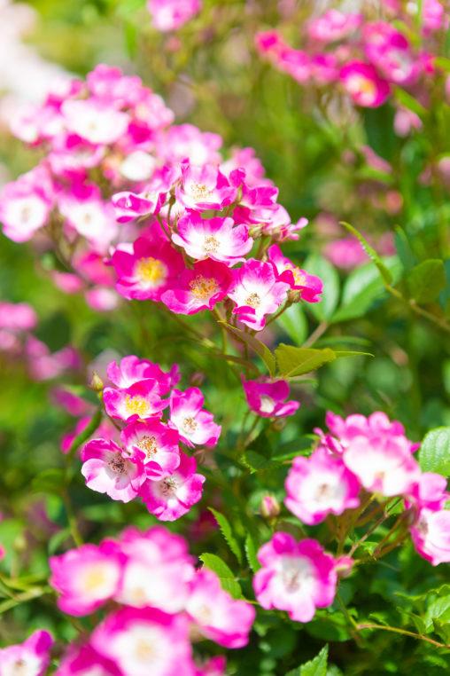 つるバラ(薔薇)・モーツァルトの写真素材