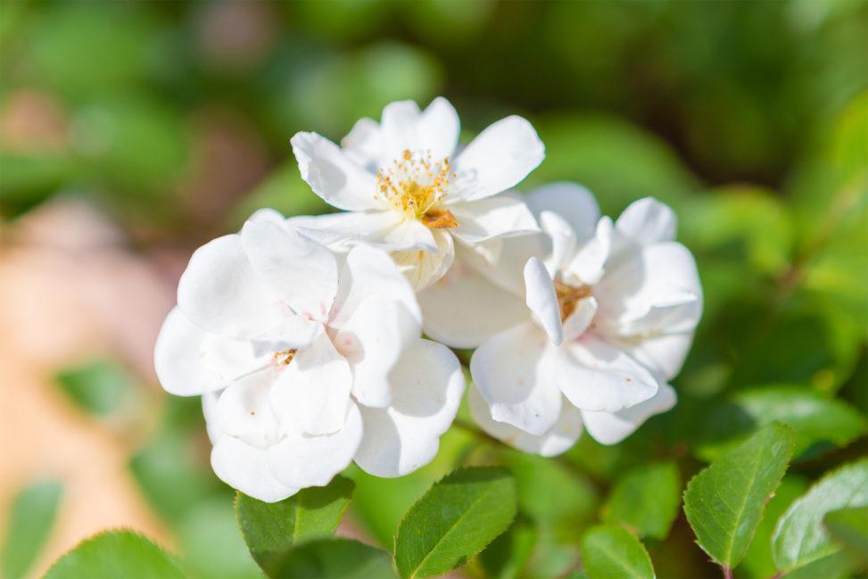 バラ(薔薇)・ムーンライトの写真素材