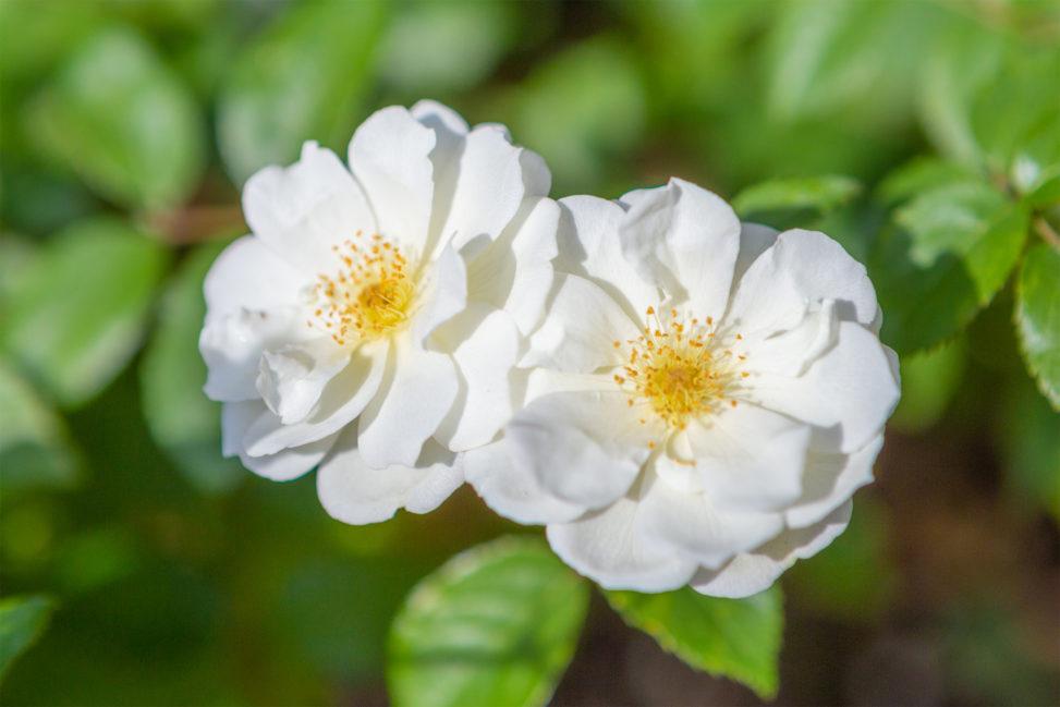 バラ(薔薇)・ムーンライト02の写真素材