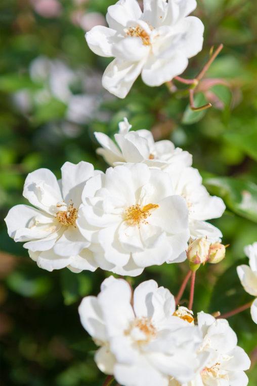 バラ(薔薇)・ムーンライト03の写真素材