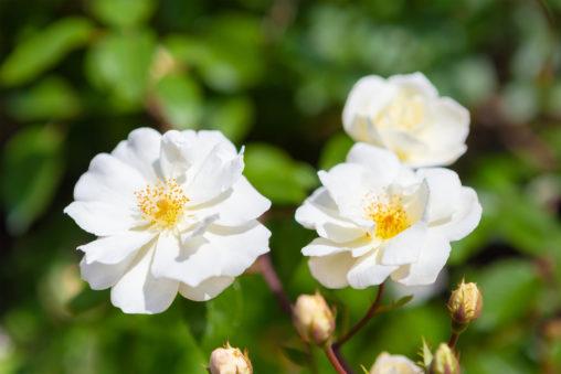 バラ(薔薇)・ムーンライト04の写真素材
