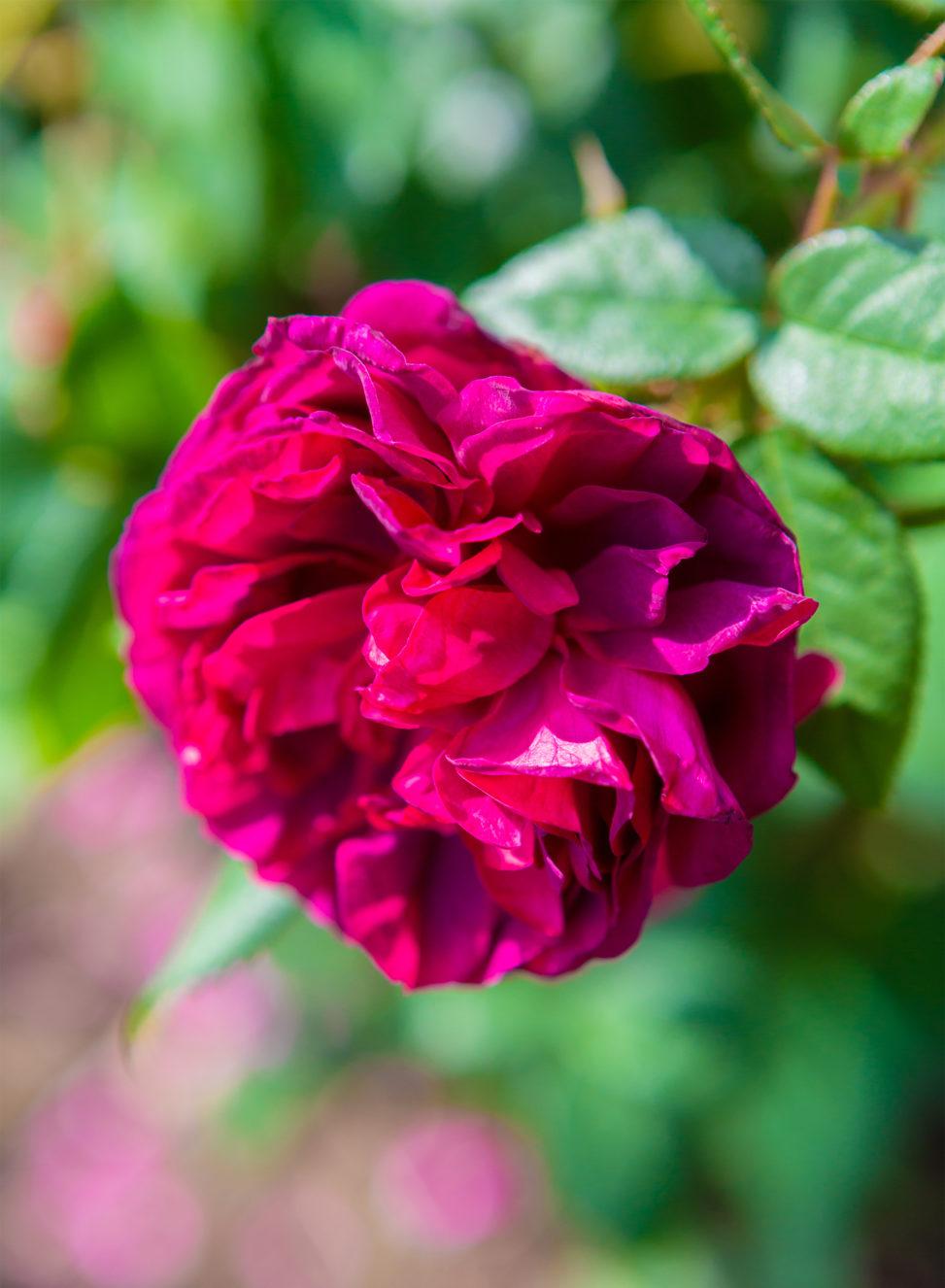 バラ(薔薇)・ブラックボーイの写真素材