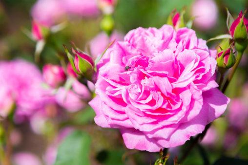 バラ(薔薇)・マダム ロリオール ドゥ バーニーの写真素材