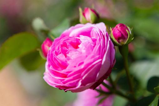 バラ(薔薇)・ルイーズ オディエの写真素材