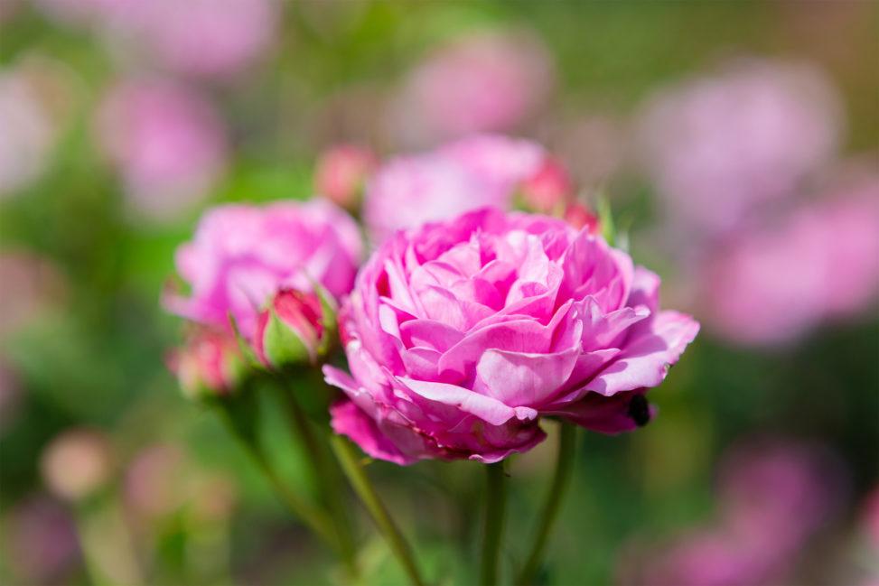 バラ(薔薇)・ルイーズ オディエ02の写真素材