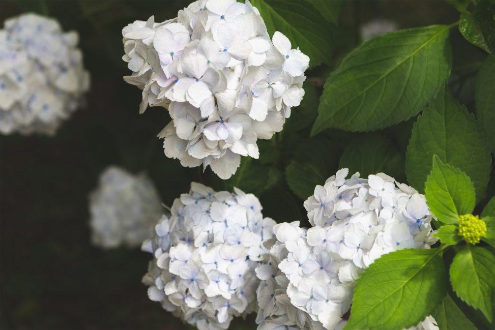 白色の紫陽花(あじさい)の写真素材