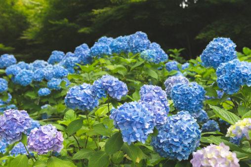 満開の紫陽花(あじさい)の写真素材