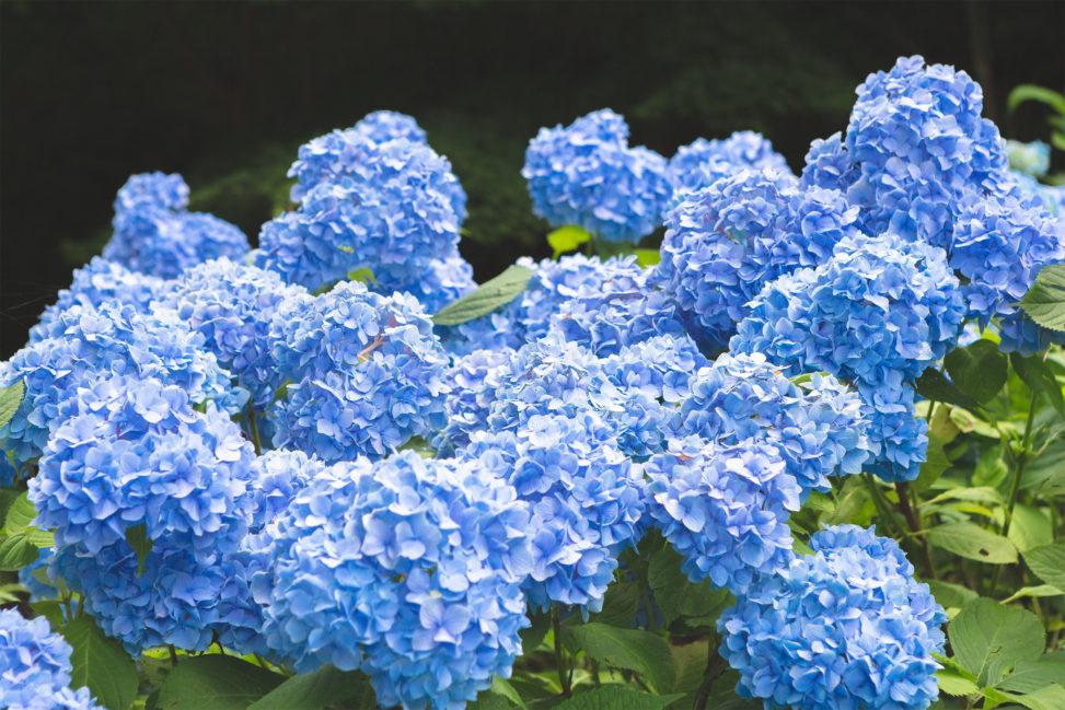 満開の紫陽花(あじさい)02の写真素材