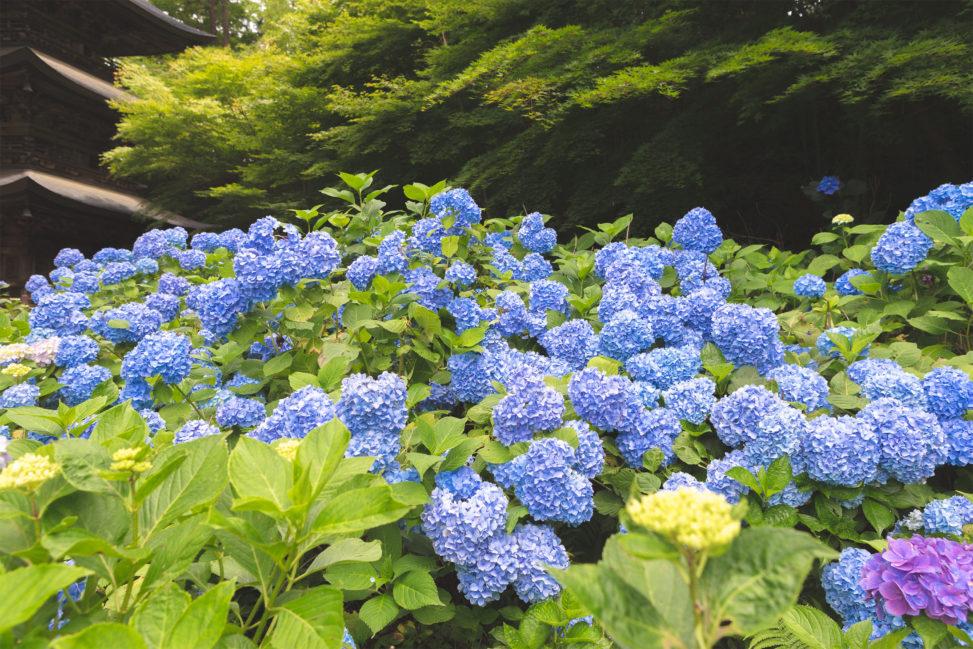 満開の紫陽花(あじさい)04の写真素材