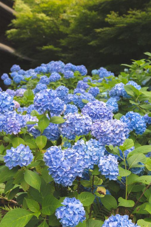 満開の紫陽花(あじさい)05の写真素材