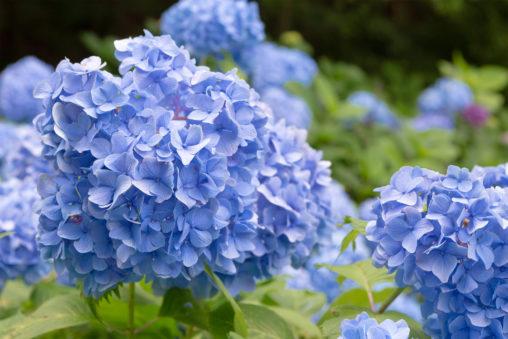 鮮やかな紫陽花(あじさい)の写真素材