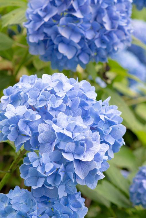 鮮やかな紫陽花(あじさい)02の写真素材