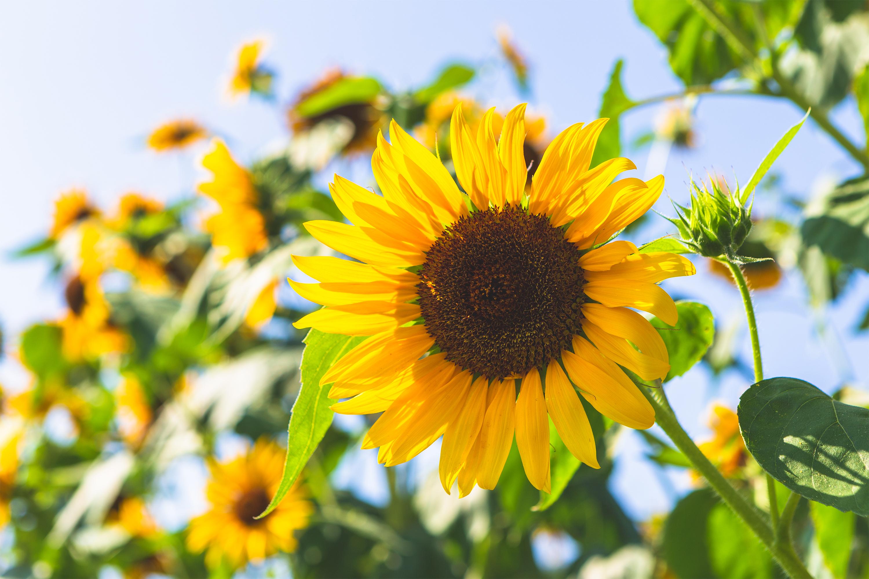 ひまわり 向日葵 無料の高画質フリー写真素材 イメージズラボ