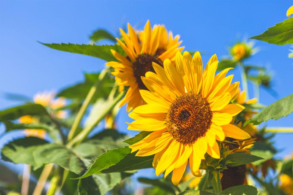 ひまわり(向日葵)と夏の空の写真素材