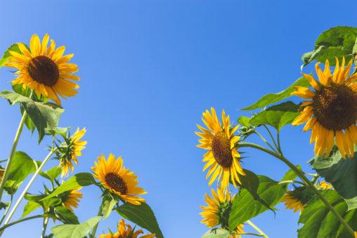ひまわり(向日葵)と夏の空02の写真素材