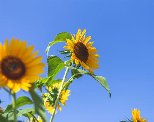 ひまわり(向日葵)と夏の空03の写真素材