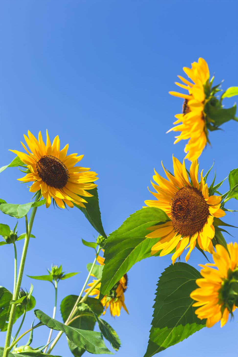 ひまわり(向日葵)と夏の空04の写真素材