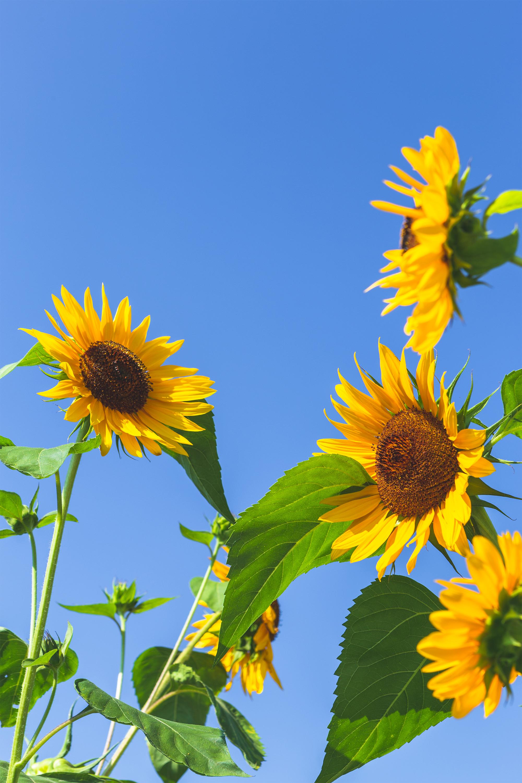 ひまわり 向日葵 と夏の空04 無料の高画質フリー写真素材 イメージズラボ