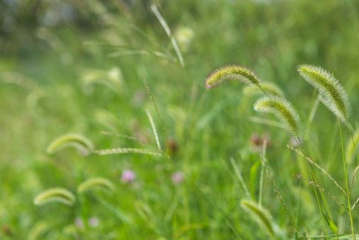 夏のエノコログサ(猫じゃらし)04の写真素材