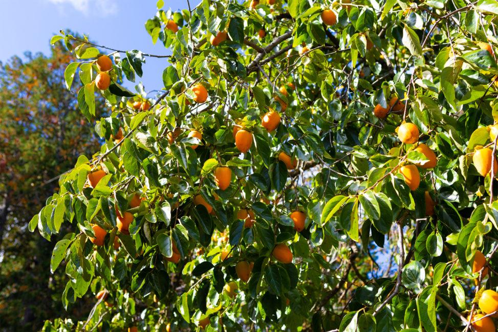 木に実っている渋柿の写真素材