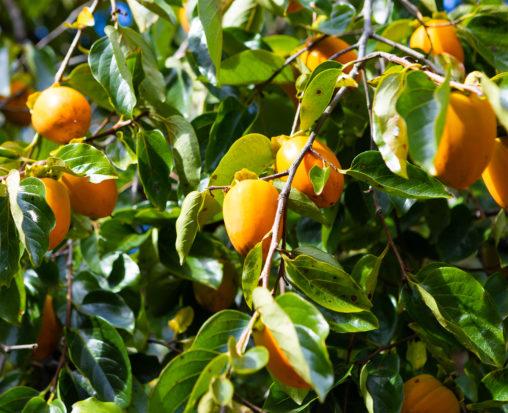 木に実っている渋柿02の写真素材