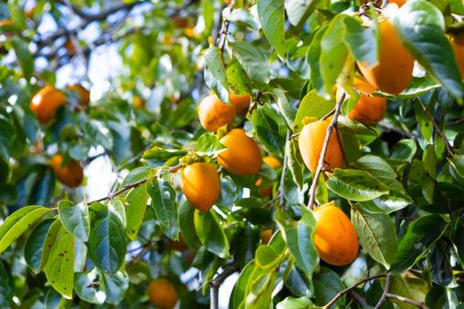 木に実っている渋柿03の写真素材