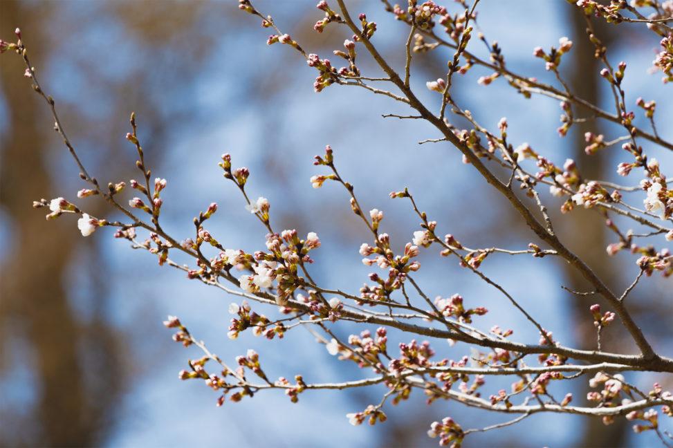 桜の蕾(つぼみ)・咲き始めのフリー写真素材