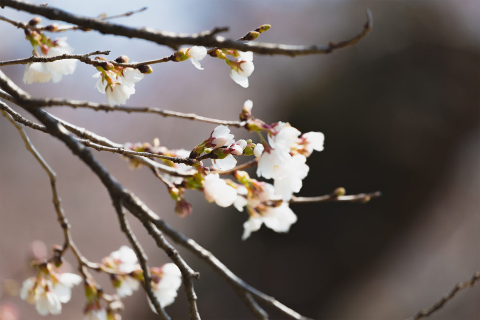 桜の蕾(つぼみ)・咲き始め02のフリー写真素材