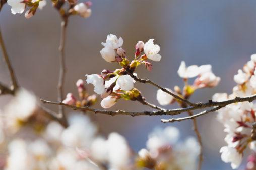桜の蕾(つぼみ)・咲き始め03のフリー写真素材