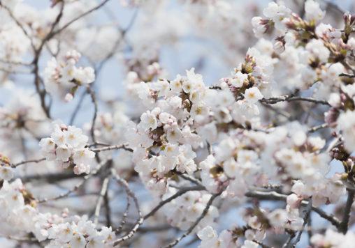 満開の桜(さくら)のアップのフリー写真素材