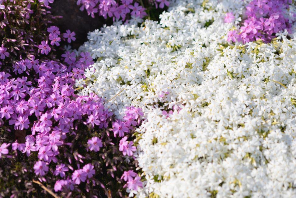 白とピンクの芝桜のフリー写真素材