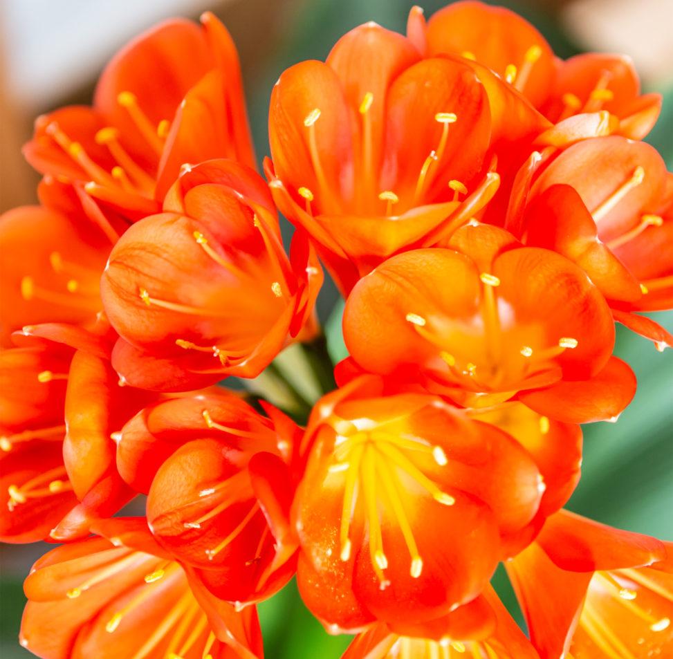 君子蘭(クンシラン)のフリー写真素材