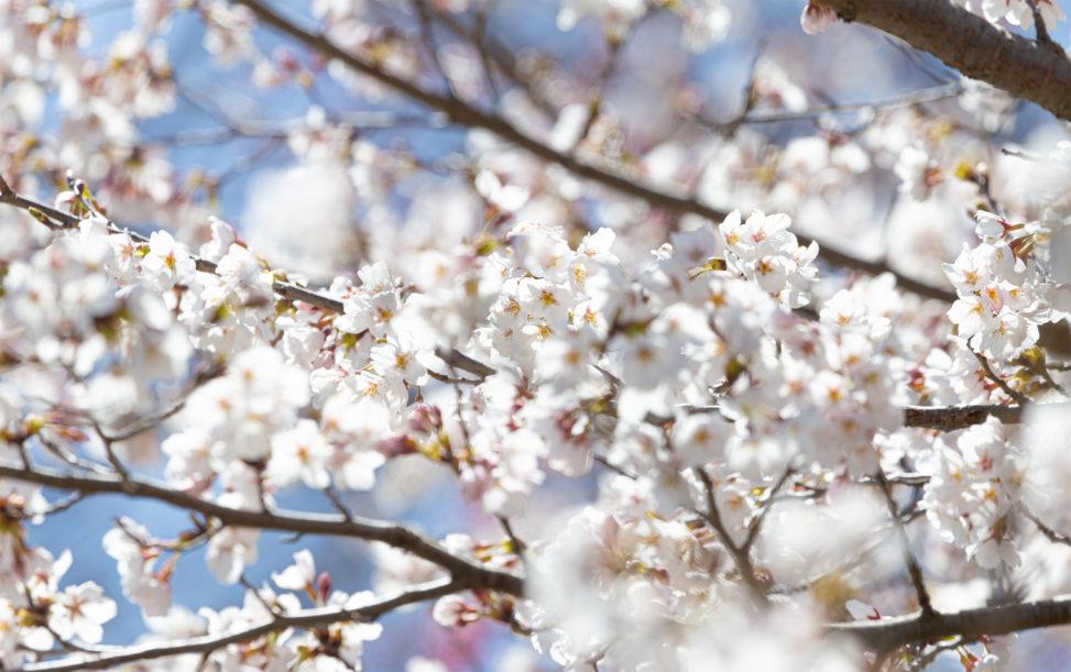 桜(アップ)のフリー写真素材