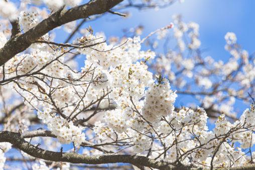 桜(アップ)02のフリー写真素材