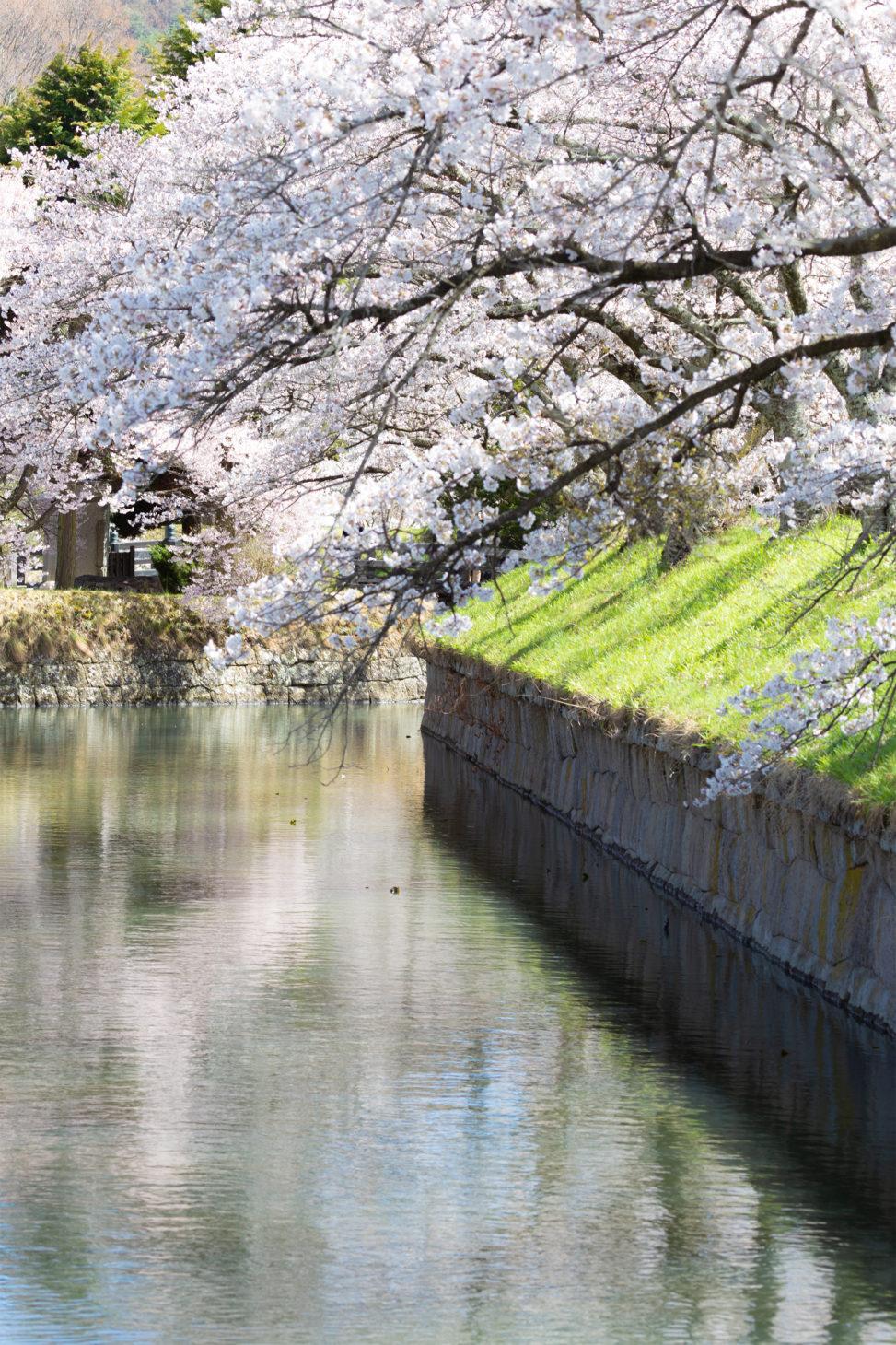 龍岡城の桜のフリー写真素材