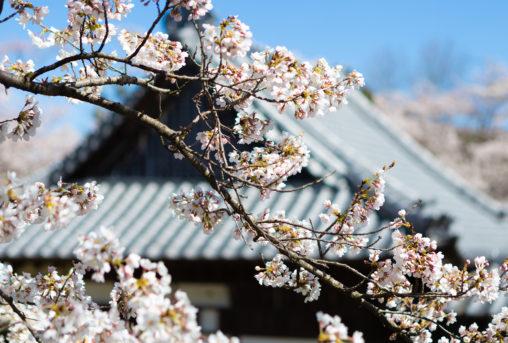 龍岡城の桜02のフリー写真素材