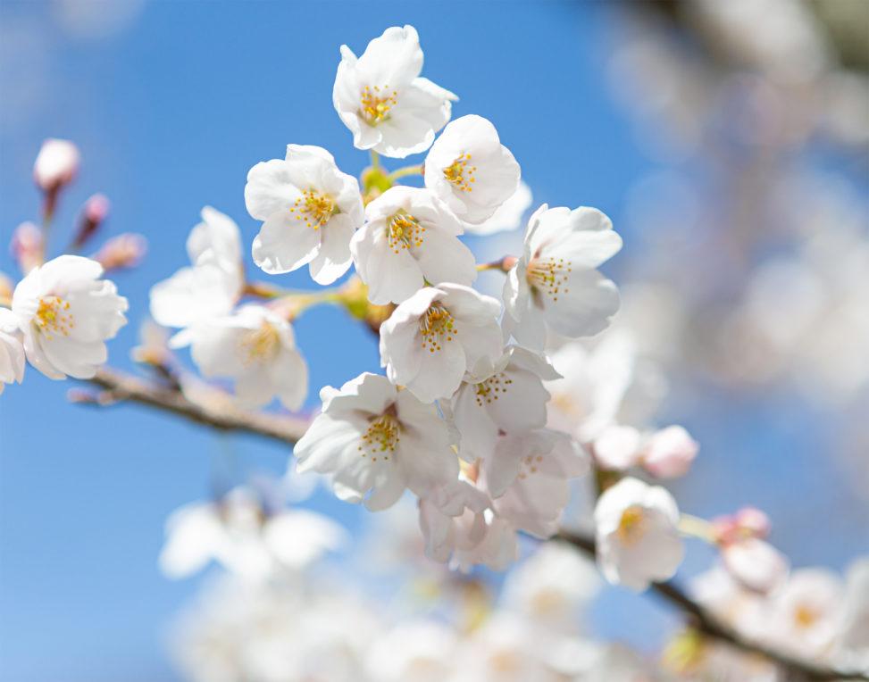 桜の花びらのアップのフリー写真素材