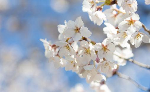 桜の花びらのアップ02のフリー写真素材
