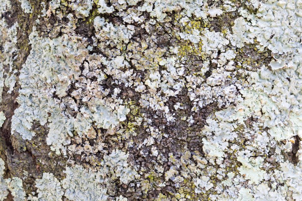 桜の木の木肌のフリー写真素材