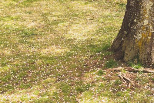 散った桜の花びらのフリー写真素材