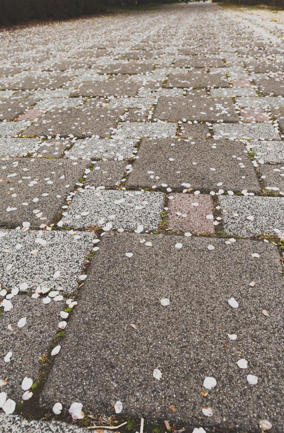 アスファルトと散った桜の花びら のフリー写真素材