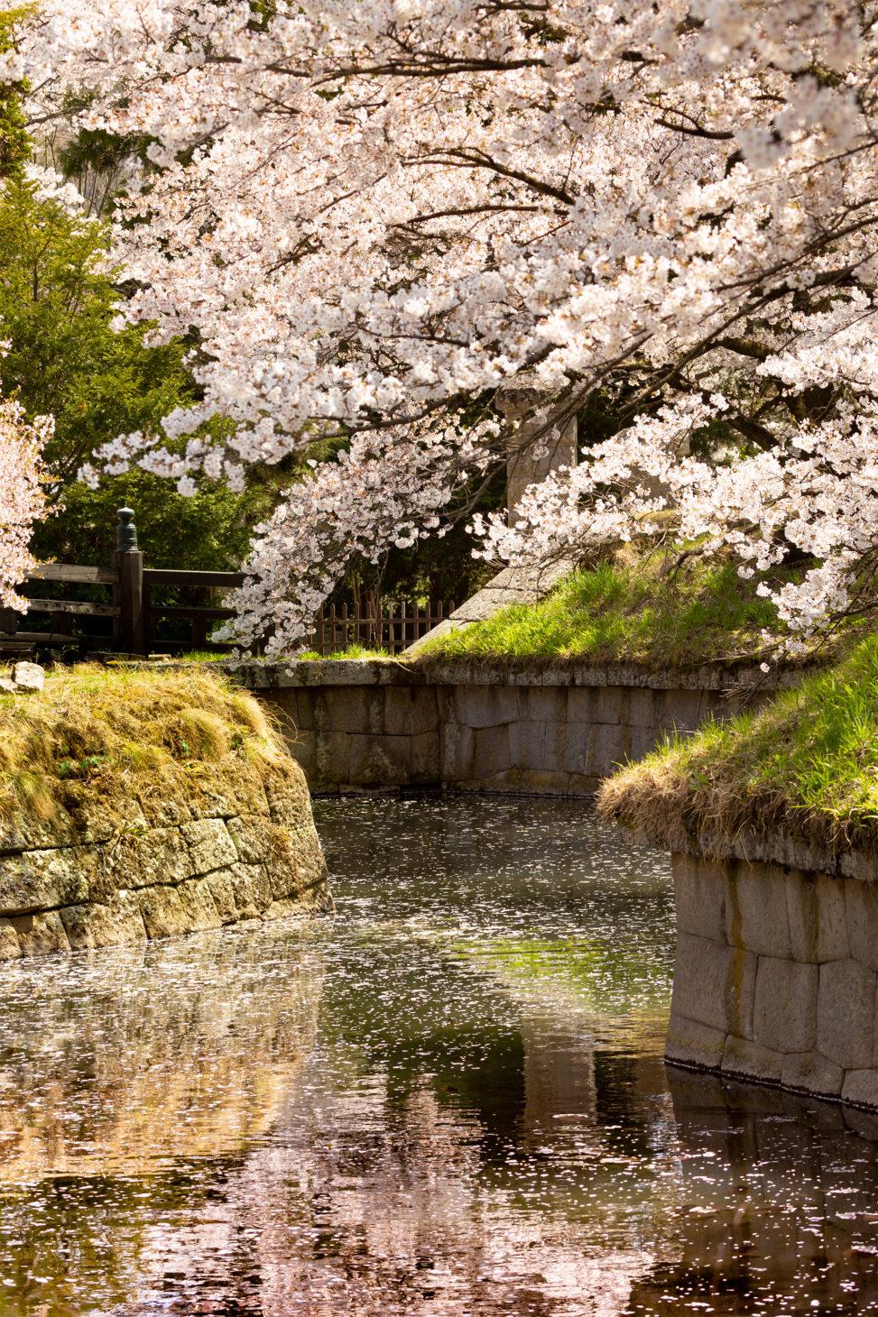 桜と水面の散り花のフリー写真素材