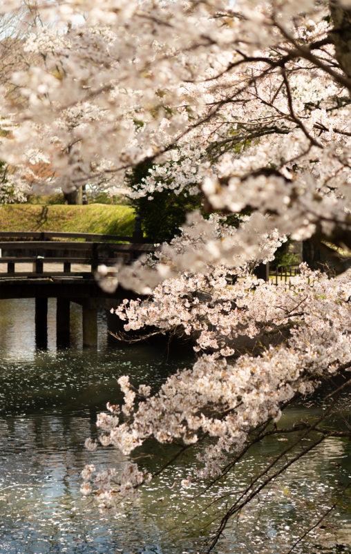桜と橋と水面の散り花 のフリー写真素材